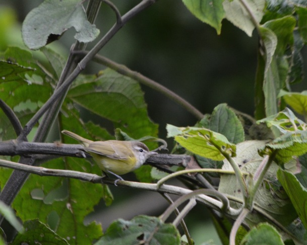 brown-capped-vireo-calle-vargas