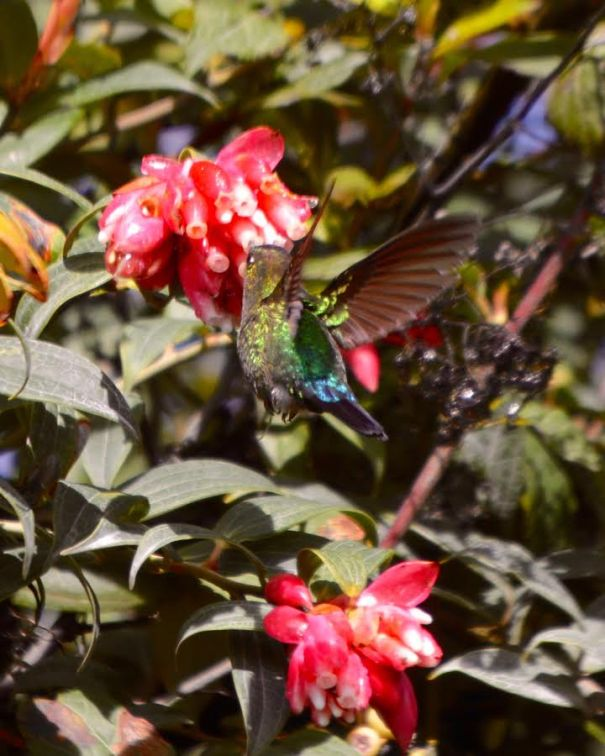 fiery-throated-hummingbird-larry-volcano
