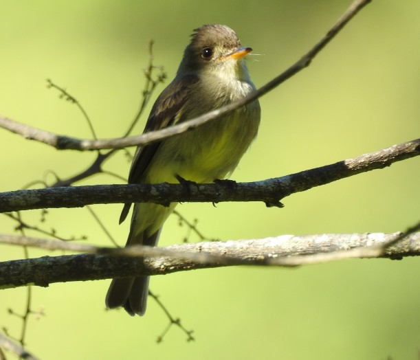 flycatcher-pewee-tropical-paso-marcos-2