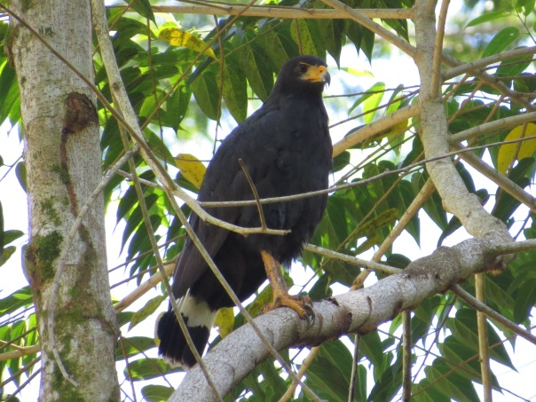 hawk-black-common-adult-cocles-puerto-viejo-1