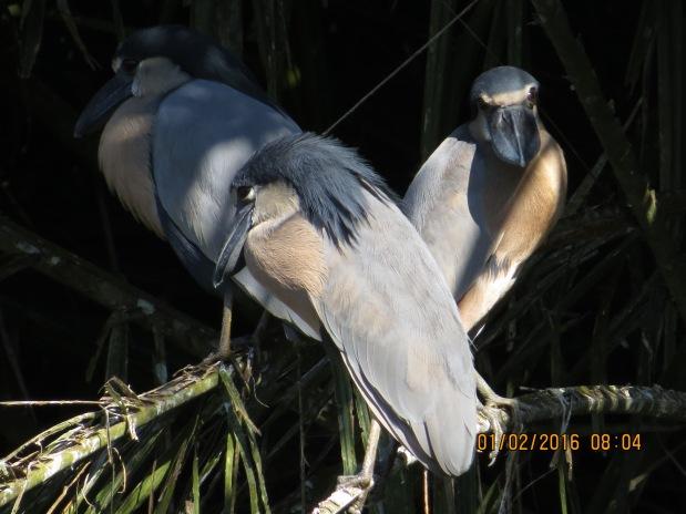 heron-boat-billed-adult-catie-lake-5