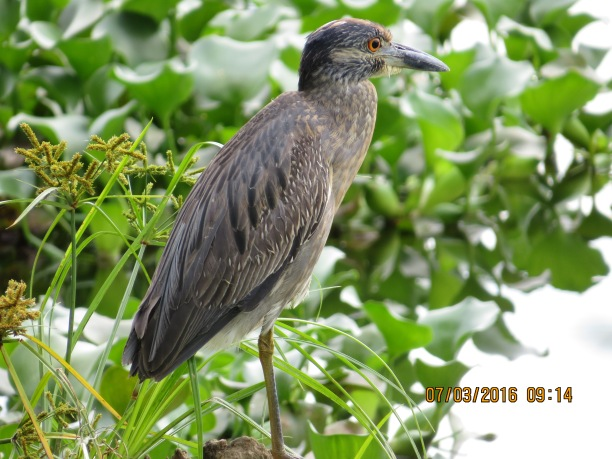 heron-night-yellow-crowned-juvenile-angostura-lake-3