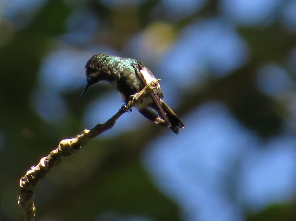hummingbird-green-thorntail-female-paso-marcos-2