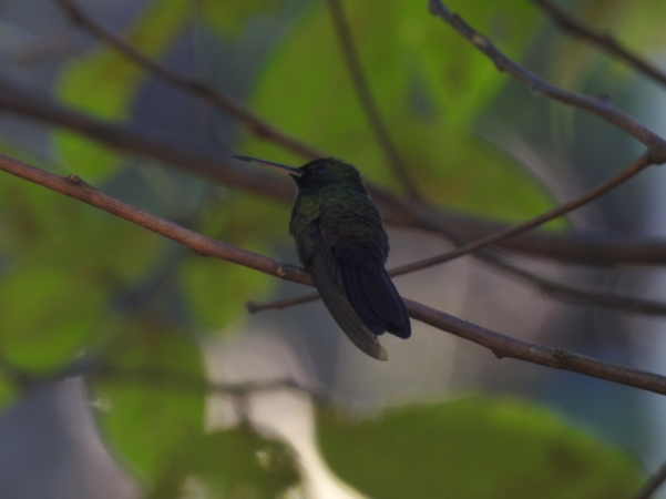 hummingbird-plumeleteer-bronze-tailed-male-paso-marcos