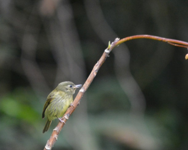 olive-striped-flycatcher-calle-vargas
