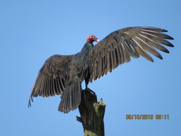 Turkey Vulture, courtesy of John Beer
