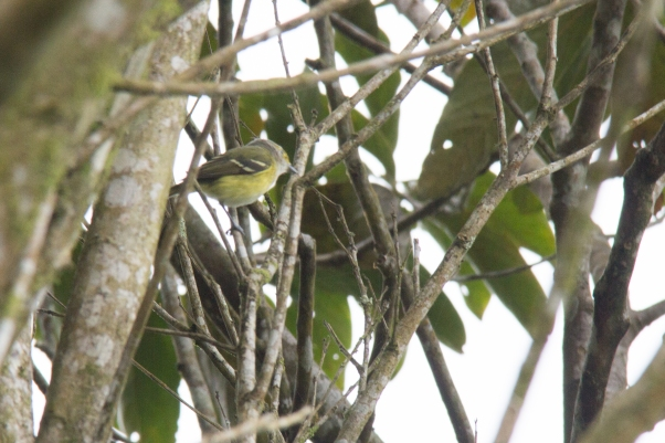 white-eyed-vireo-2-james-hart
