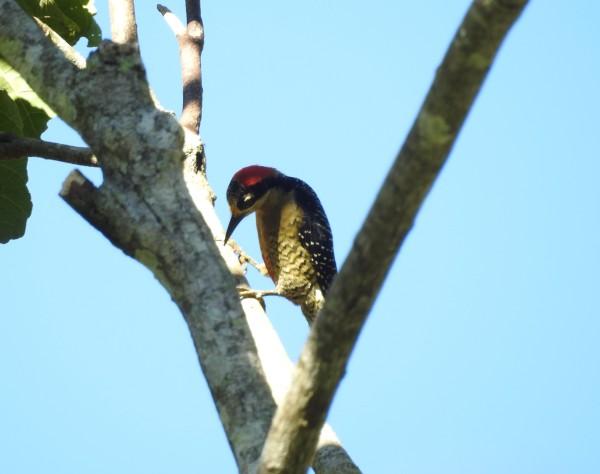 woodpecker-black-checked-female-paso-marcos-1