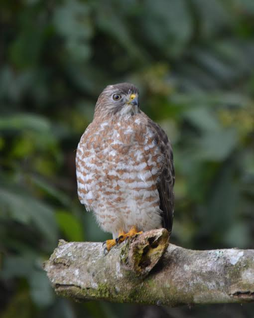 broad-winged-hawk-adult-perched-bonilla