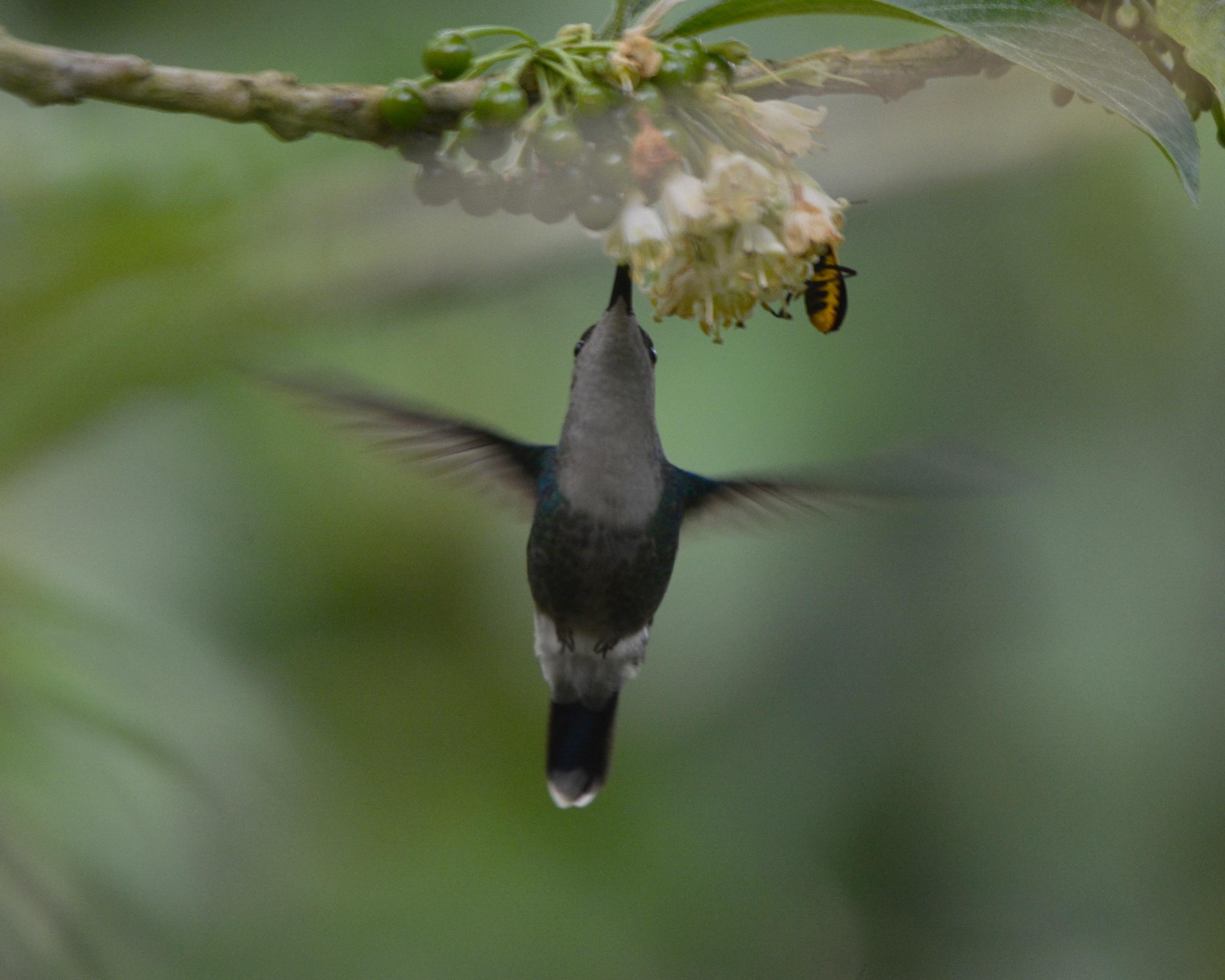 crowned-woodnymph-las-truchas