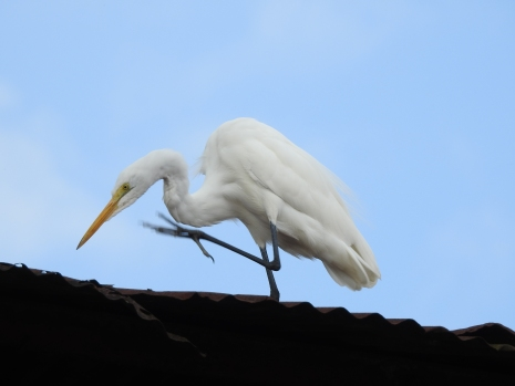 egret-great-siquirres-centro-2