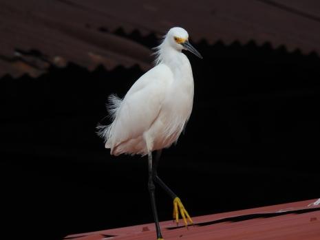 egret-snowy-siquirres-centro-1