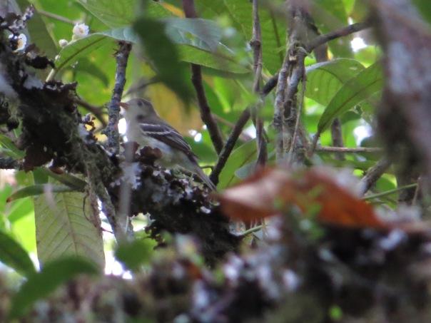 flycatcher-empidonax-114