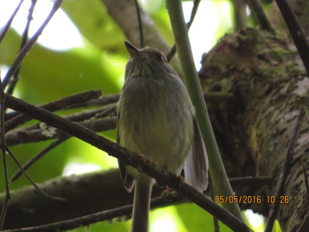 flycatcher-pygmy-tyrant-scale-crested-rio-tuis