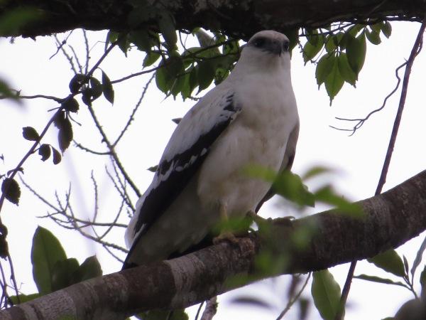 hawk-white-barbilla-9