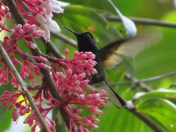 hummingbird-black-bellied-maletausito-0