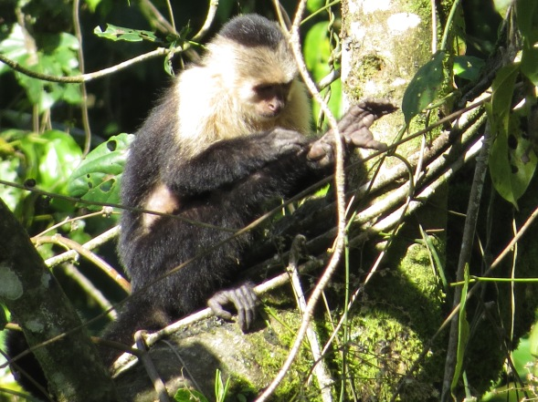 Monkey, White-faced, Bonilla Arriba.JPG