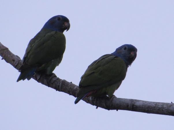 parrot-blue-headed-barbilla-3
