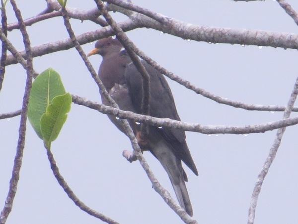 pigeon-band-tailed-barbilla-7