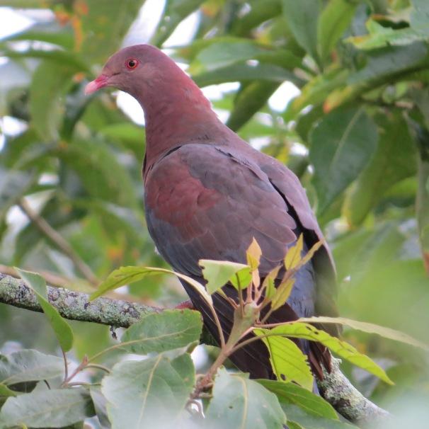 pigeon-red-billed-santa-rosa-garden