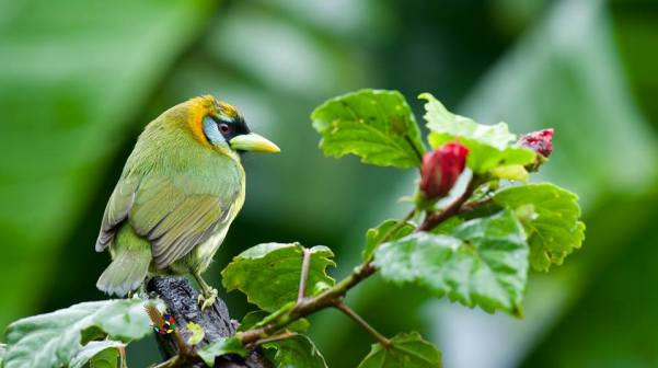 red-headed-barbet-female-fernando-burgalin
