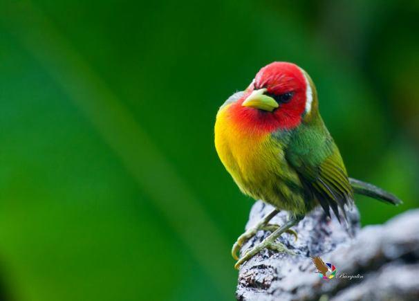 red-headed-barbet-male-fernando-burgalin-cinchona-vara-blanca