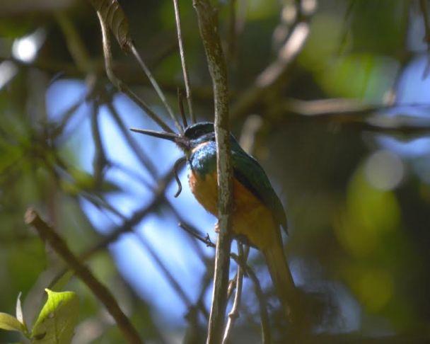 rufous-tailed-jacamar-tausito