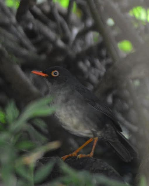 slaty-backed-nightingale-thrush-bonilla