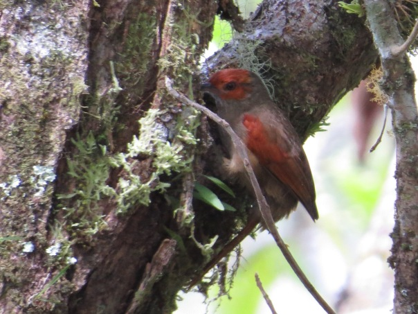 spinetail-red-faced-bonilla-arriba-9