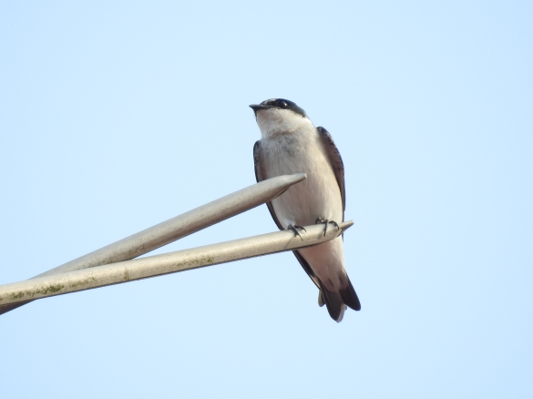 swallow-mangrove-siquirres-centro-1