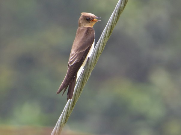 swallow-rough-winged-southern-barbilla