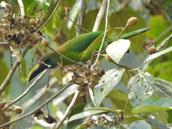 toucanet-emerald-bonilla-2