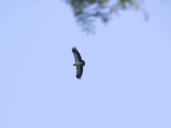 vulture-king-barbilla