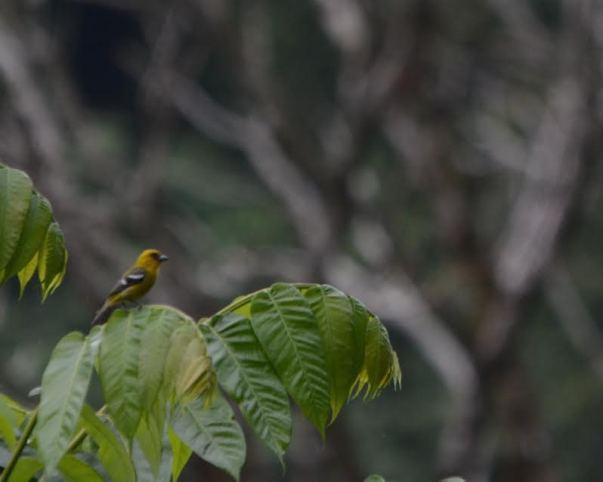white-winged-tanager-female-bonilla