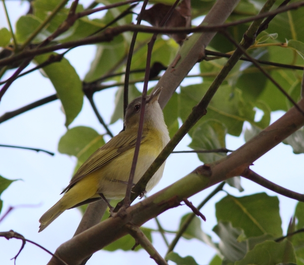 yellow-green-vireo-cr-1