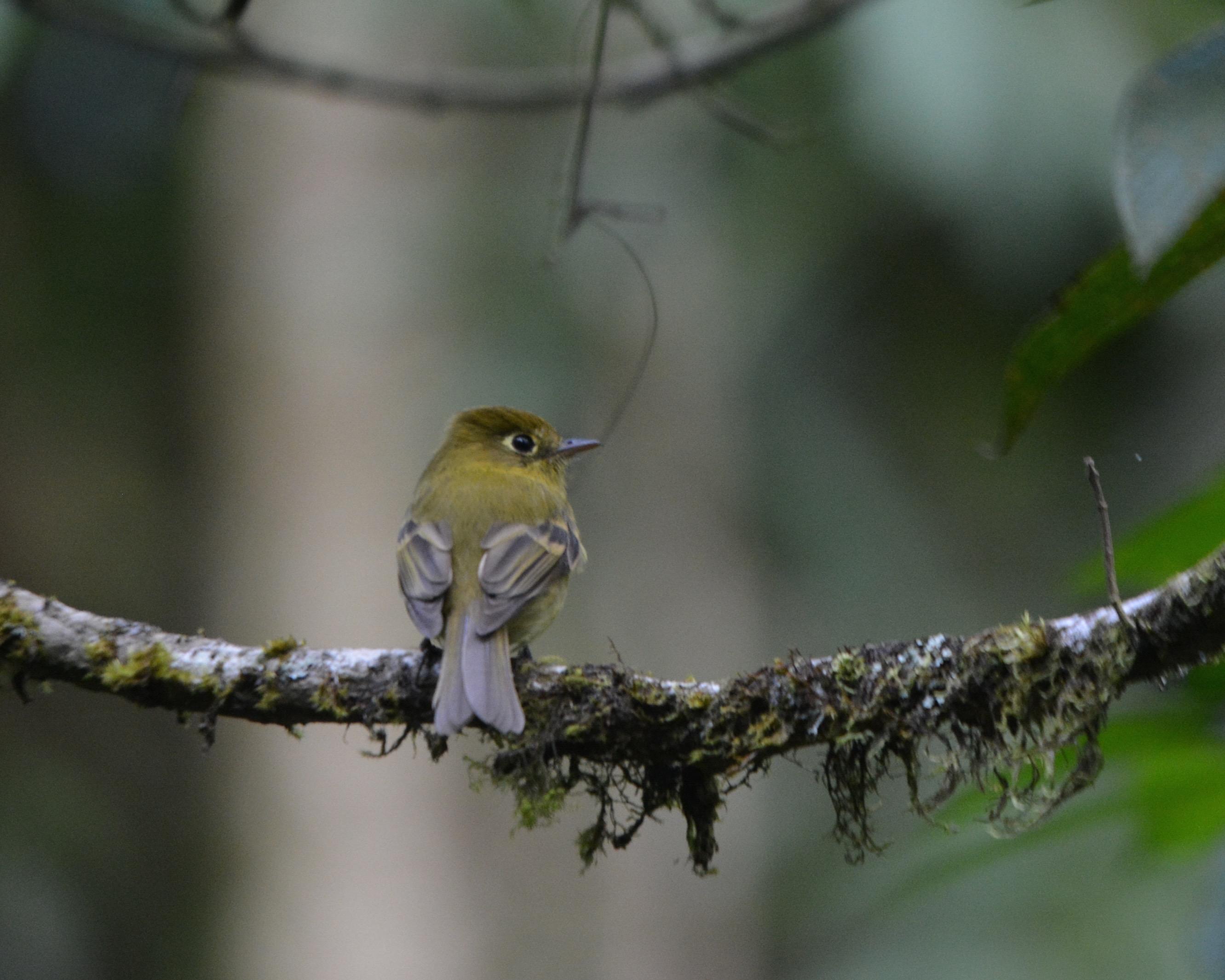 yellowish-flycatcher-las-truchas