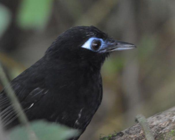 zeledons-antbird-male-bonilla