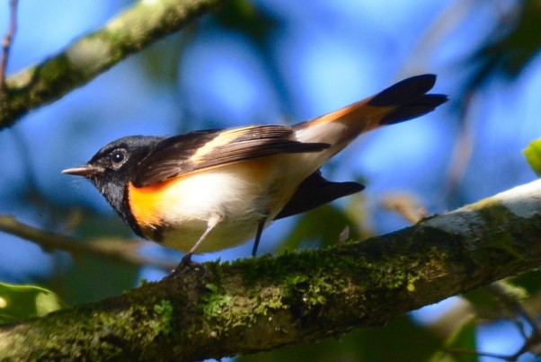 American Redstart male Aquiares