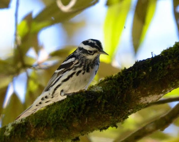 Black-and-white Warbler Aquiares