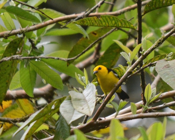black-and-yellow-tanager-male2-la-esperanza