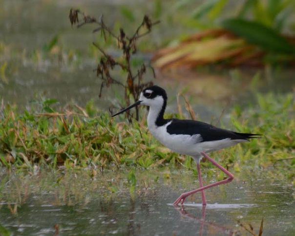 Black-necked Stilt Angostura