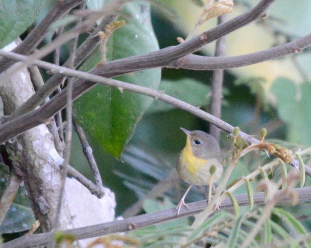 Common Yellowthroat fem. Casa Turire