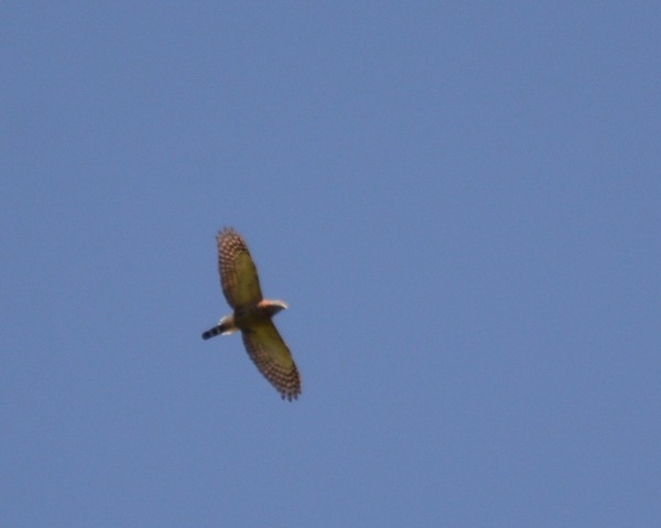Double-toothed Kite Rio Tuis