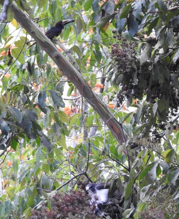 Kite,Gray-headed, adult (kill Tityra) Santa Rosa Garden (1)
