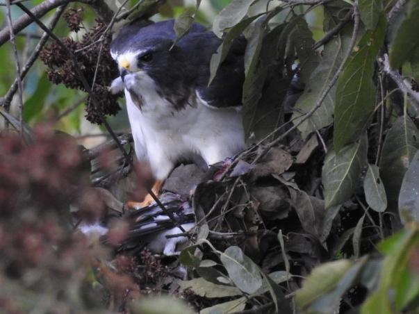 Kite,Gray-headed, adult (kill Tityra) Santa Rosa Garden (4)