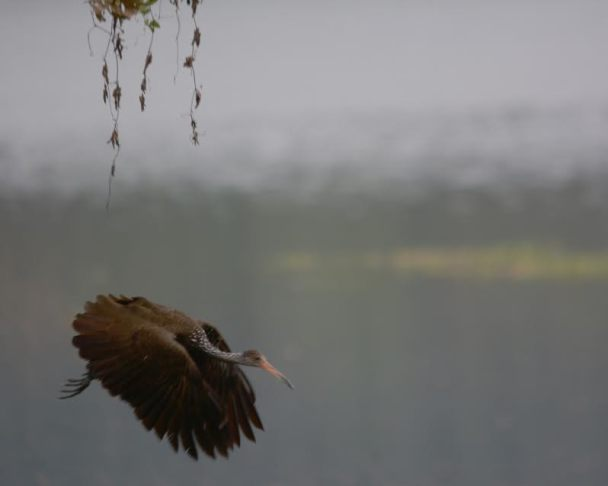 Limpkin in flight Angostura
