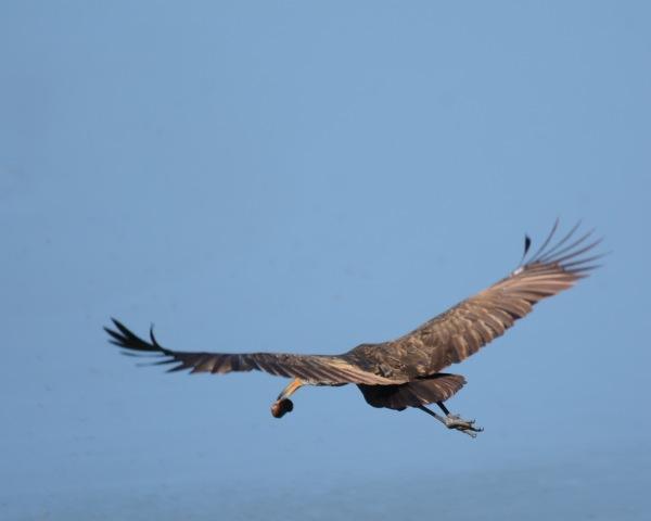 Limpkin in flight with snail Casa Turire
