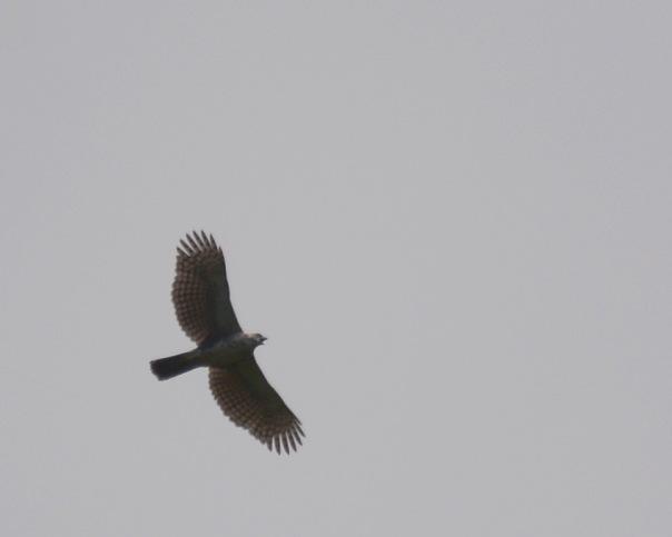 ornate-hawk-eagle-at-la-esperanza-de-atirro