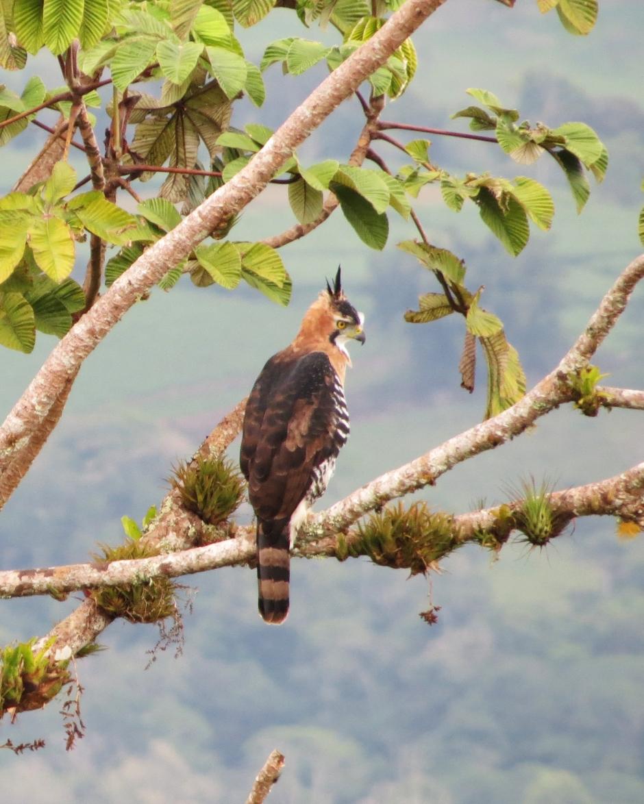ornate-hawk-eagle-crop_edited-1