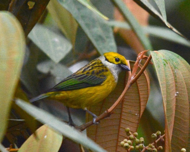 Silver-throated Tanager - Calle Vargas